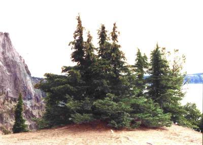 Baumgruppe Crater Lake OR, USA
