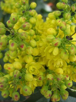 Mittagspausenblume