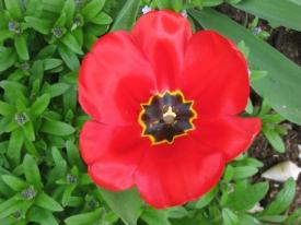 Tulpe mit Muschel
