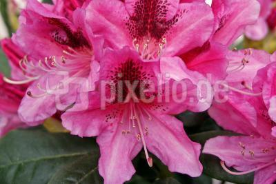 Rhododendron_01