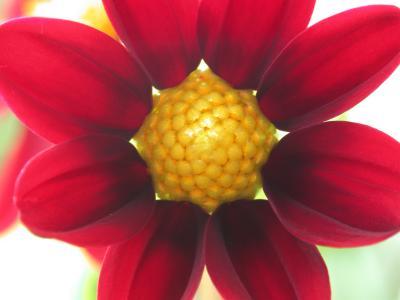 Dahlienblüte 2
