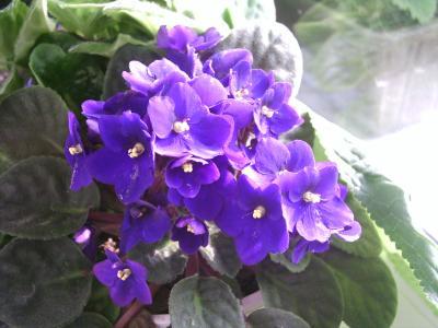 violetblumchen
