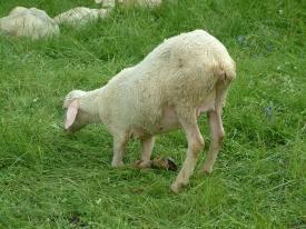 Schaf beim Essen