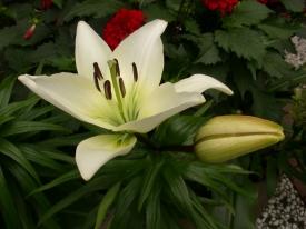 Lilienblüte 1