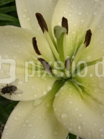 Lielienblüte 3