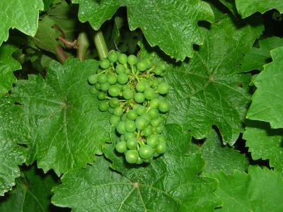 Der Bergsträsser Wein