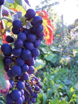Weintrauben2