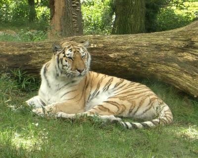 Tiger im Bronx Zoo