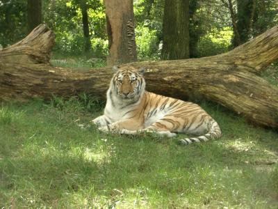 Tiger im Bronx Zoo 2 (das beste der 3 Bilder, sieht man nur nach dem runterladen ;-) )
