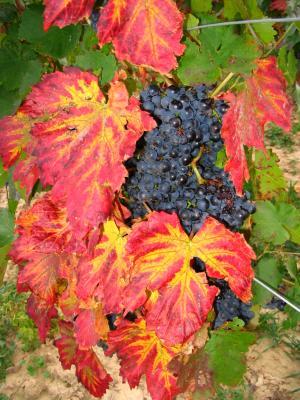 Blau Trauben umrahmt mit Blättern