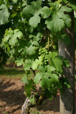 Weinrebe mit Holzpfahl