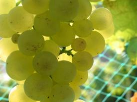 Chardonnay-Trauben I
