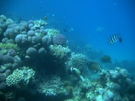 Korallenriff mit Kugelfisch...