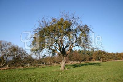 Apfelbaum im November