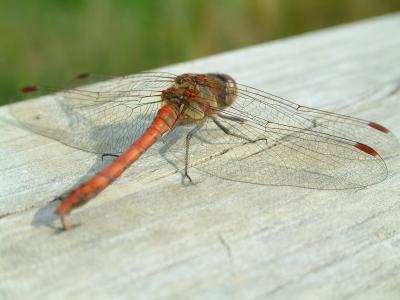 Libelle die zweite