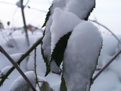 schneebedeckte Blätter