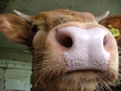 Rinder vor der Kamera 3