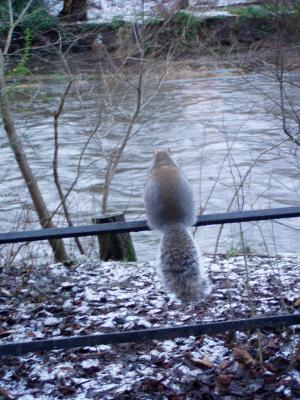 Grauhörnchen zeigt die kalte Schulter