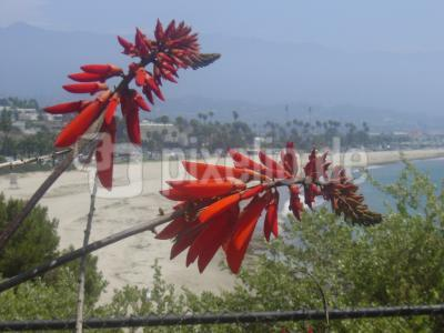 flower in front of Santa Monica