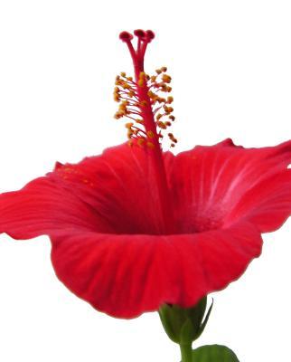 Hibiskusblüte 2
