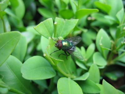 Fliege im Buxbaum
