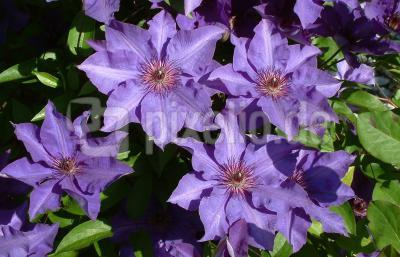 Clematis The President 2