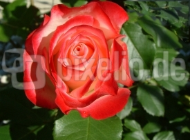 Rose in Morgensonne