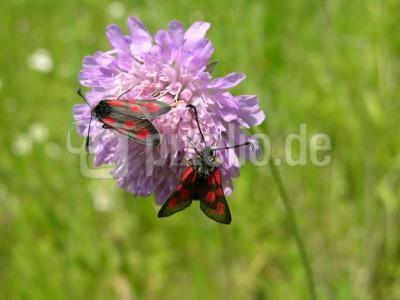 Zwei Widderchen auf einer Ackerwitwenblume