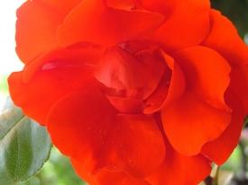 Rote Rosen soll man pflücken...