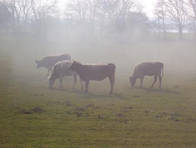 Kühe im Dampflok-Nebel