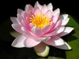 Eine Seerosenblüte.