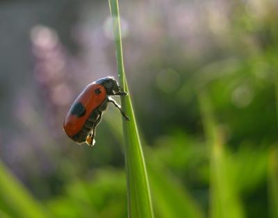 Käferweibchen beim Eierlegen