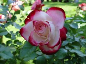 Edelrose Rosa Weiß