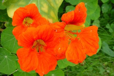 Kapuzinerkresse orange