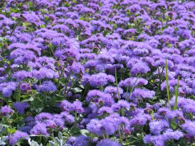 Violetter Teppich