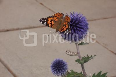 Butterfly Painted Lady