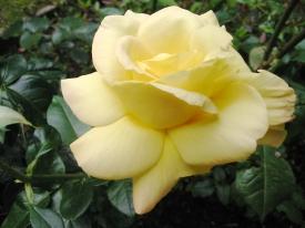 gelbe Rose 2