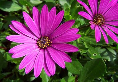 Blüte einer Kapaster