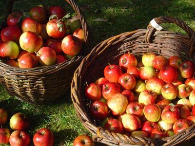 Apfelernte II