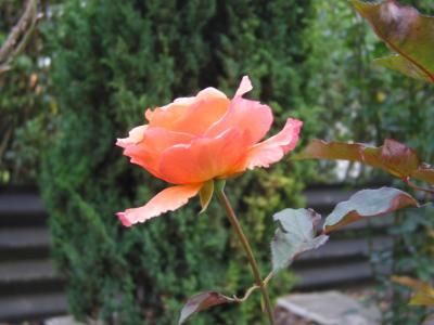 Beflügelte Rose