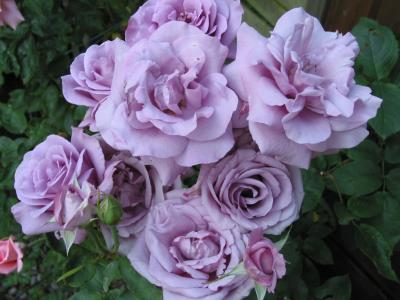 Rosenblüten in bleu