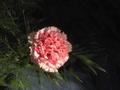 Nelkenblüte rosa teilbeleuchtet
