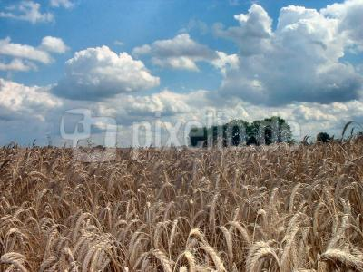 Getreidefeld im Sommer