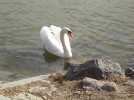 schwan auf der Donau bei Linz