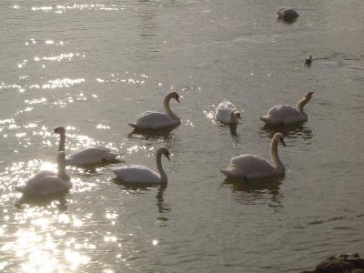 schwäne im Wasser der Donau