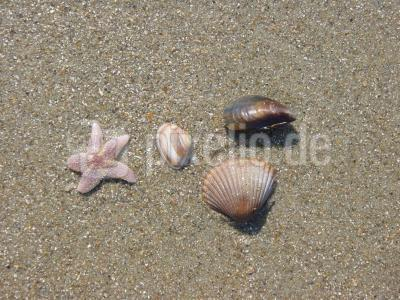 Seestern und Muscheln