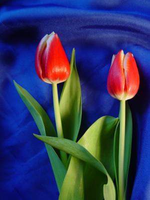 Rot-gelbe Tulpen auf blauem Grund