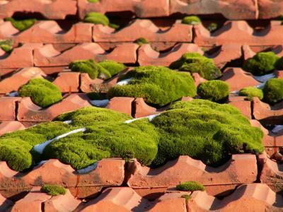 Moospölsterchen auf einem Dach im Winter