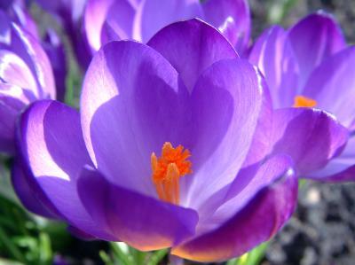 lila Frühlingsgruß