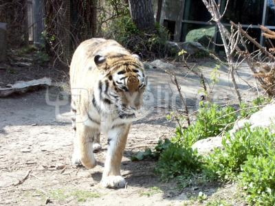 Tiger im Tierpark